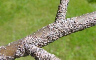 Как бороться со щитовкой на яблоне: оптимальные методы