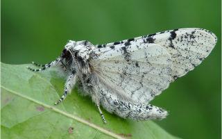 Бабочки пяденицы – вредители садовых, ягодных, декоративных культур