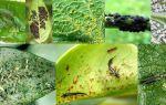 Как защитить огород, декоративные растения от табачного трипса?