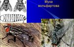 Вольфартова муха: образ жизни паразита, пути заражения и методы лечения вольфартиоза