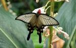 Бабочка алкиной – редкий приморский парусник