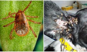 Иксодовые клещи: опасность для человека и домашних питомцев