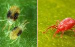 Виноградный клещ-как избавиться от паразита?