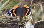 Бабочка адмирал – прекрасная и неутомимая путешественница