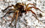 Какие они – самые опасные пауки в мире?