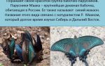 Бабочка махаон: разнообразие подвидов и особенности жизни парусника