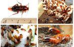 Как правильно разводить туркменского таракана? описание насекомого и оптимальных условий содержания