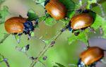 Листоед тополевый – краснокрылый враг деревьев