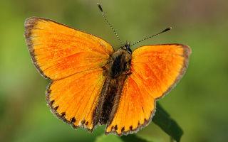 Бабочка червонец огненный – искорка в зеленой траве
