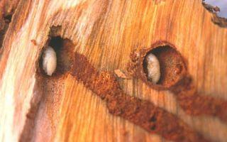 Гравер обыкновенный – вредитель хвойных лесов