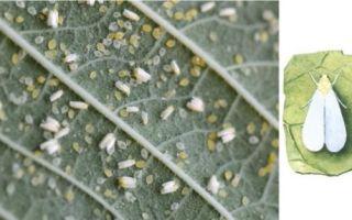 Белые мошки на клубнике – действенные способы для спасения урожая