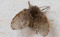 Как вывести бабочниц и ее личинок из квартиры: проверенные средства